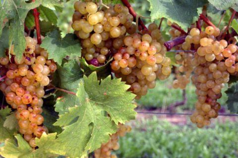 iCicero: Terracina - Feste e Sagre - Festa del Vino Moscato e dell'Uva